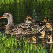 Ducks on Trout Lake